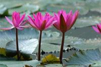 Кувшинки необычной формы и цвета, напоминающие об экзотических странах. Эти растения из Индии привез ученый-ботаник. Он решил посадить их в теплом озере, и опыт удался. Со временем кувшинки стали своеобразной визитной карточкой Хевиза и даже были изображены на гербе города.